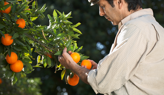 Man picking oranges from a tree as Link image for Food Safety training category